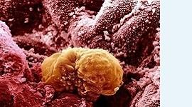 Обнаружен ген, влияющий на имплантацию эмбриона
