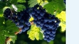 Виноград может помочь при ЭКО у женщин с избыточным весом