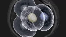 Анеуплоидные эмбрионы могут нормально развиваться