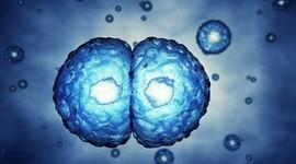 Ученые получили ооциты из стволовых клеток
