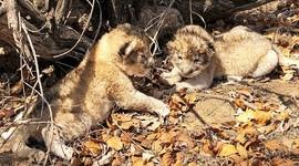 """ЭКО в мире животных: в ЮАР родились львята """"из пробирки"""""""