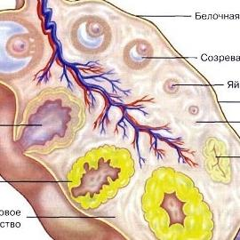 Знакомьтесь, ваш организм: 5 интересных фактов об яичниках