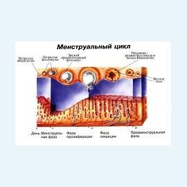 Менструальный цикл и последствия его нарушения