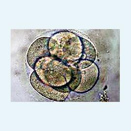 Эмбриологический период программы ЭКО