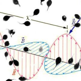 Сперматозоиды - магниты