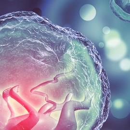 Эмбрион – из стволовых клеток