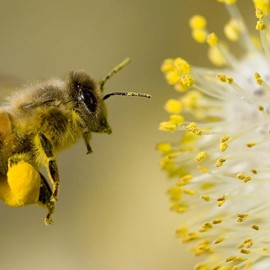 Цветочная пыльца лечит мужское бесплодие