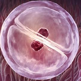 Отсутствие стволовых клеток как причина выкидышей