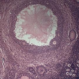 Открыты новые факты о работе яичников