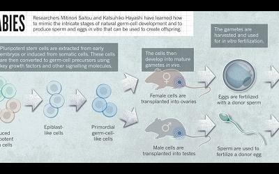 Японские ученые вырастили яйцеклетки из клеток кожи мыши