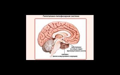 Гипоталамо-гипофизарная система и нарушения,  ведущие к бесплодию