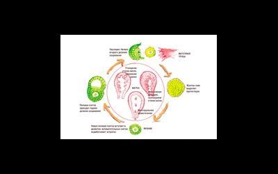 Образование желтого тела в яичниках