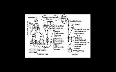 Диета для улучшения сперматогенеза