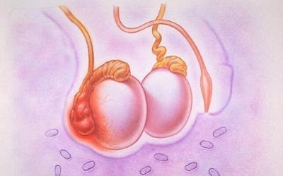 яички у мужчин фото