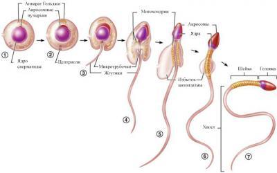 Созданы сперматозоиды из зародышевых клеток