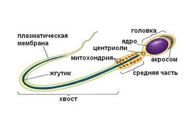 Новая часть сперматозоида может вызывать бесплодие