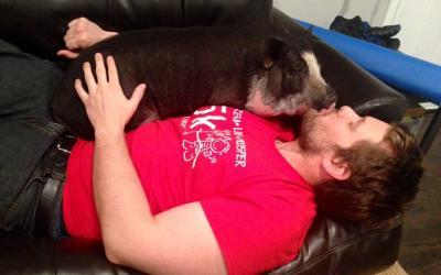 Свинья – друг человека
