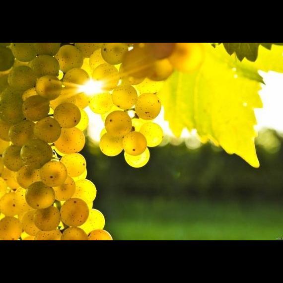 Виноград поможет при лечении женского бесплодия