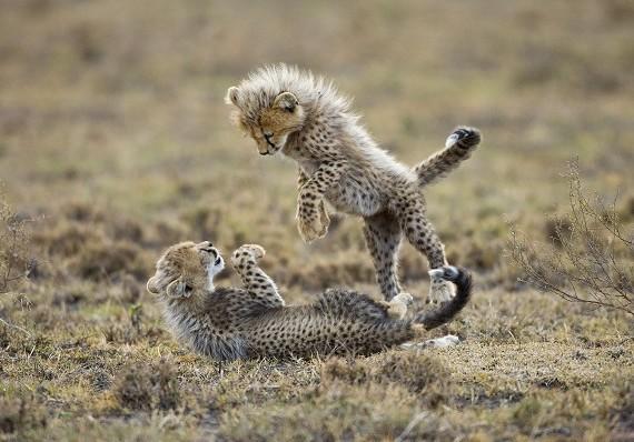 В мире животных: детеныши гепарда родились с помощью ЭКО